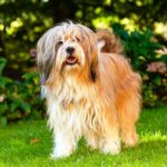Tibetan Terrier standing outdoors.