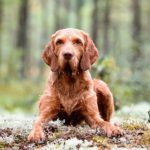 Wirehaired Vizsla laying in the forest.