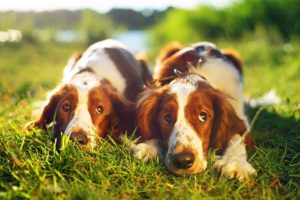 Welsh Springer Spaniels laying in the grass.