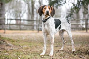 Treeing Walker Coonhound standing outdoors.