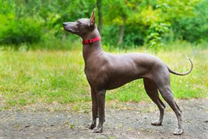 Xoloitzcuintli standing outdoors.