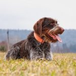 Wirehaired Pointing Griffon laying in a field.