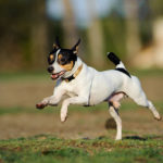 Toy Fox Terrier running outdoors.