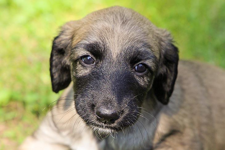 Afghan Hound Puppies For Sale Akc Puppyfinder