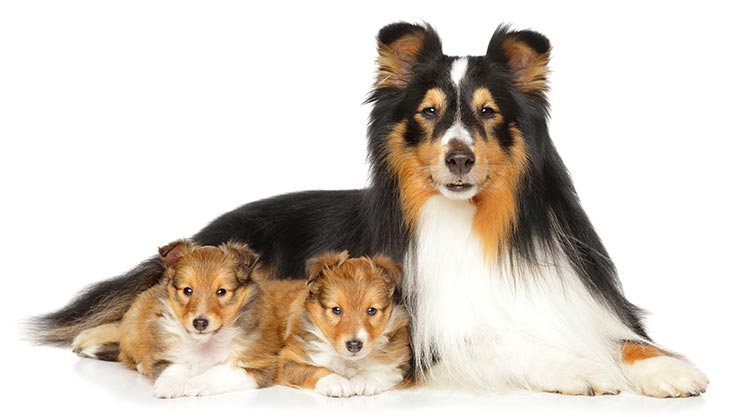 Shetland Sheepdog laying down with her two puppies on a white background.
