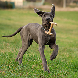 Great Dane puppy bring back an obedience dumbbell outdoors in the grass.