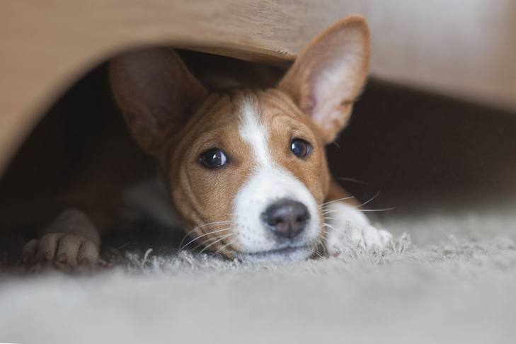 Basenji puppy, house pet playing under the bed