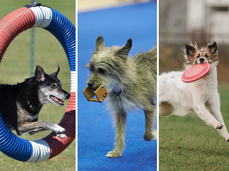 Canine Partners in Agility, Obedience, and UpDog.