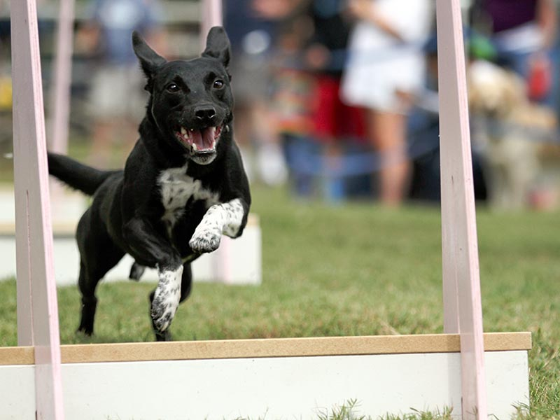 Mixed breed participating in Flyball.