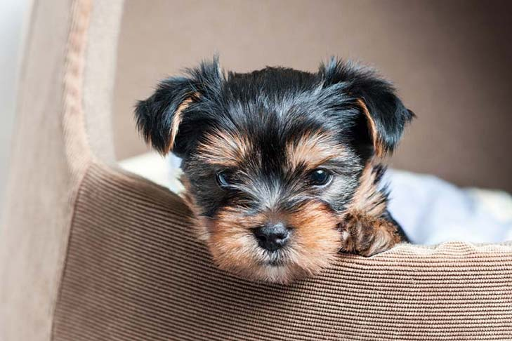 Yorkie S First Year Training Timeline For A Yorkshire Terrier Puppy American Kennel Club
