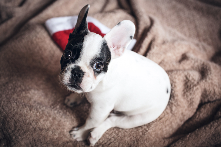 French Bulldog puppy sitting at home with a Santa hat nearby.