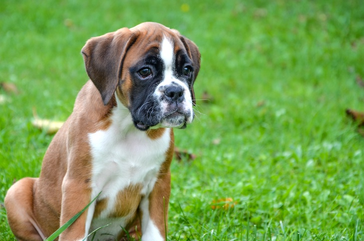 Beautiful boxer puppy 2 months old awake sitting in the grass.