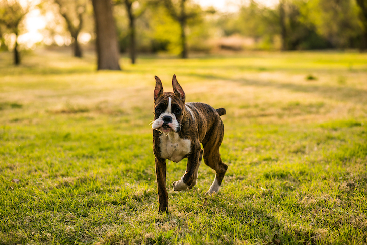 Boxer puppy walking in the grass.