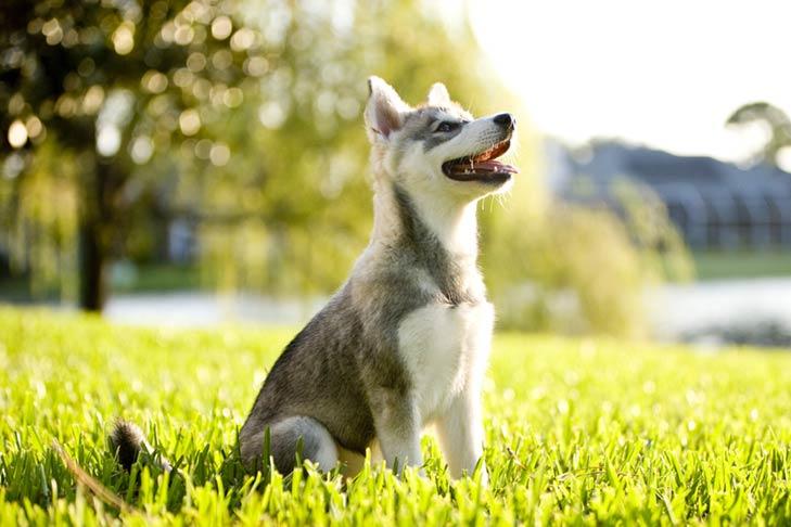 Alaskan Klee Kai puppy sitting in the grass.