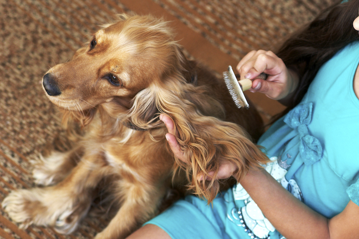 English Cocker Spaniel being brushed by a girl.