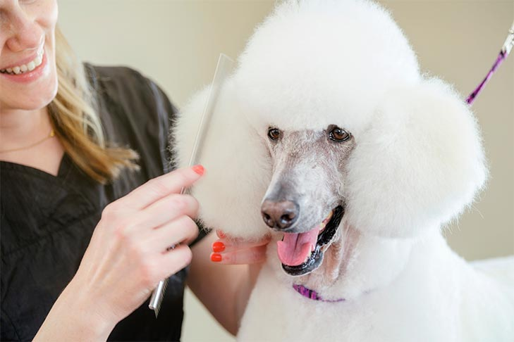 Standard Poodle being professionally groomed.