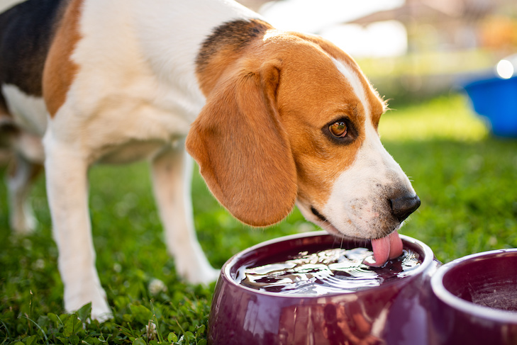Beagle dog drinking water to cool off in shade on grass hiding from summer sun . Summer background. Tired of summer heat.