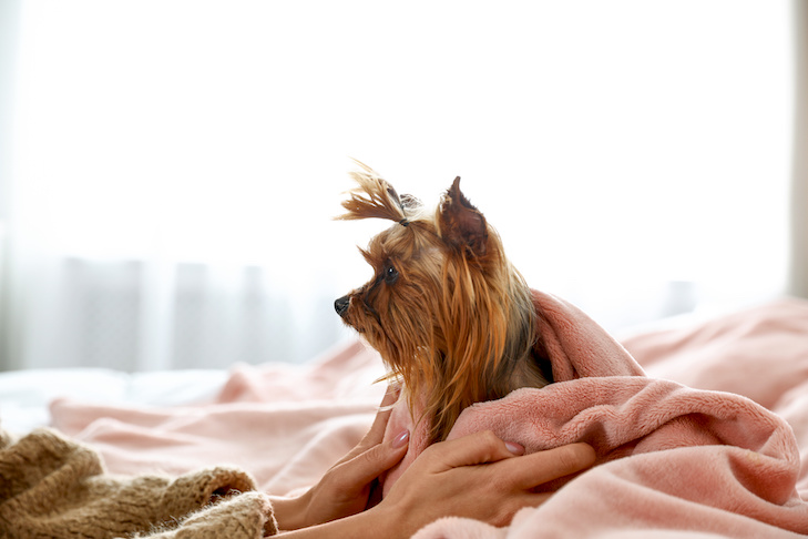 yorkshire terrier under blankets