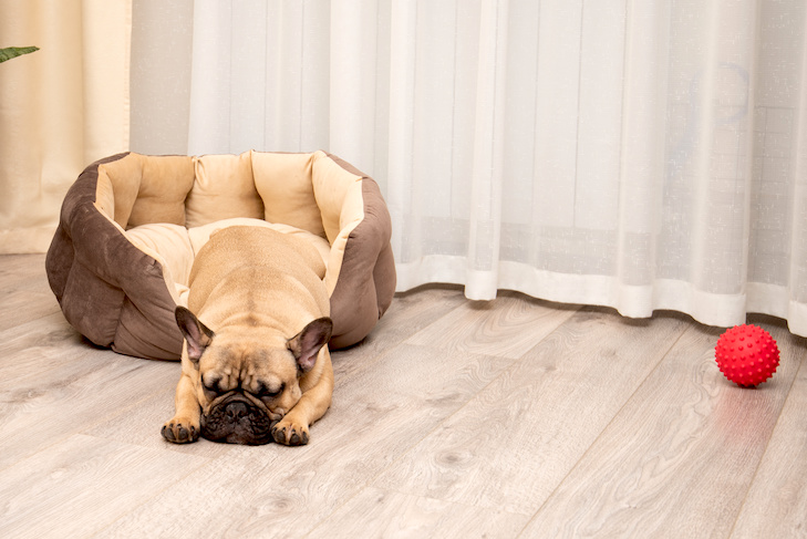 French Bulldog sleeping halfway out of its dog bed.