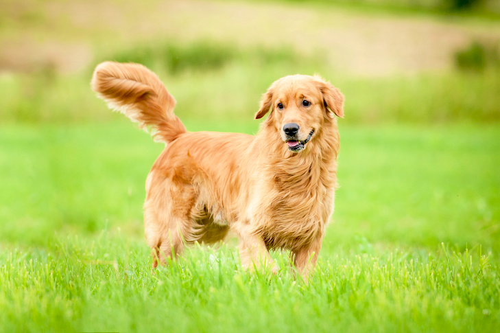 Golden Retriever standing in a grassy field.