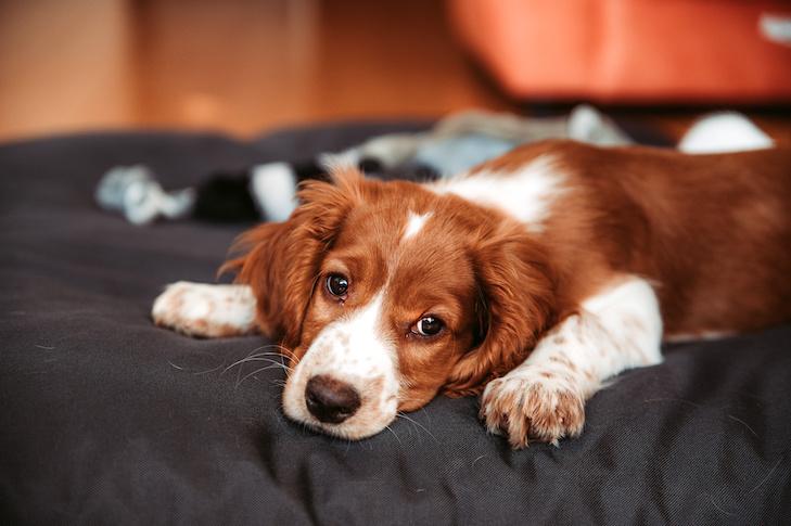 Cute looking welsh springer spaniel puppy