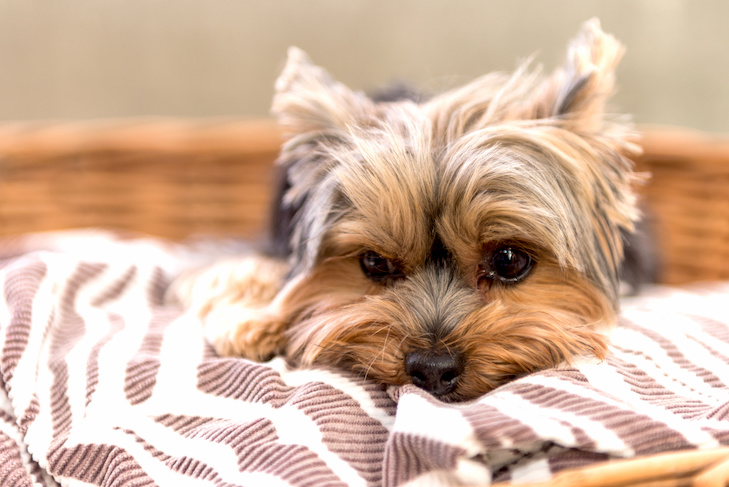 Yorkshire Terrier laying down in its dog bed.