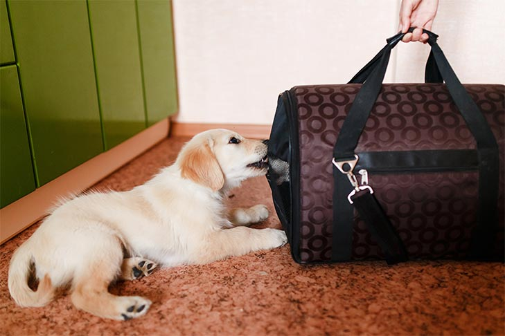 Golden Retriever puppy chewing on a pet carrier.