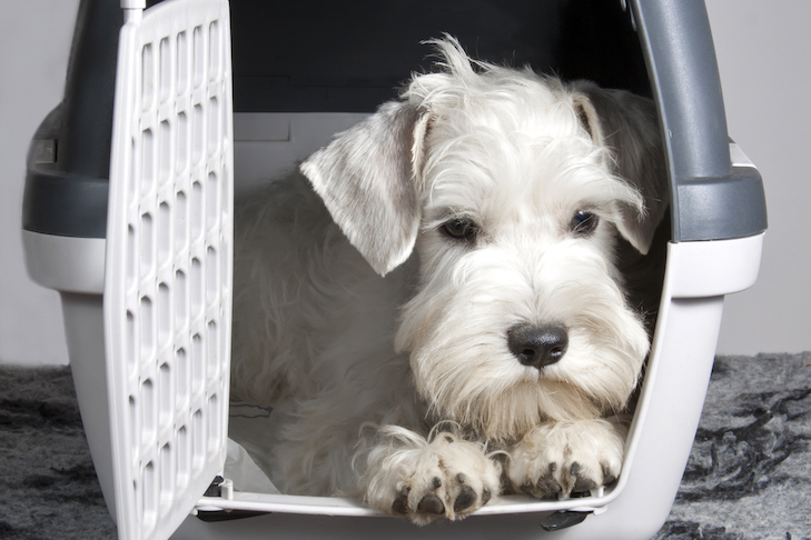 Sealyham Terrier laying down in a travel crate.
