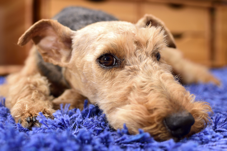 Welsh Terrier laying down indoors.