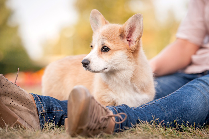 Pembroke Welsh Corgi puppy sitting with its owner in the grass.