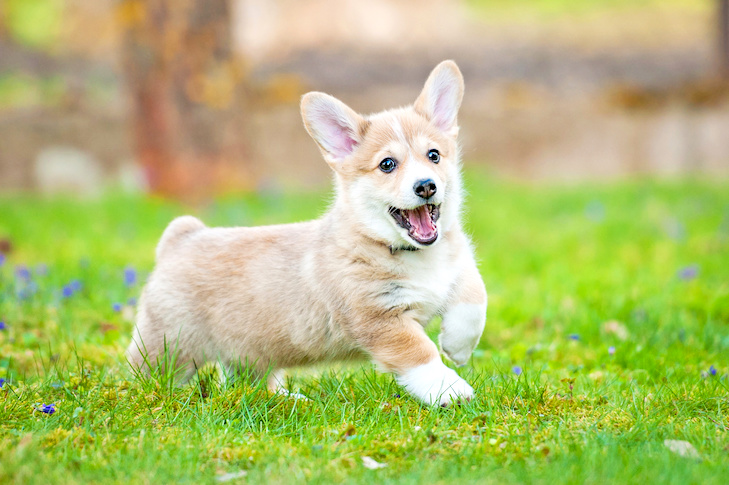 Pembroke Welsh Corgi puppy running and playing in the grass.