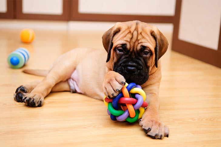 Bullmastiff puppy with a toy ball laying on the floor.