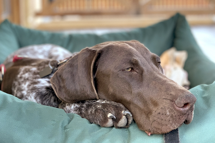 German Shorthaired Pointer laying down in a dog bed on the porch outdoors.