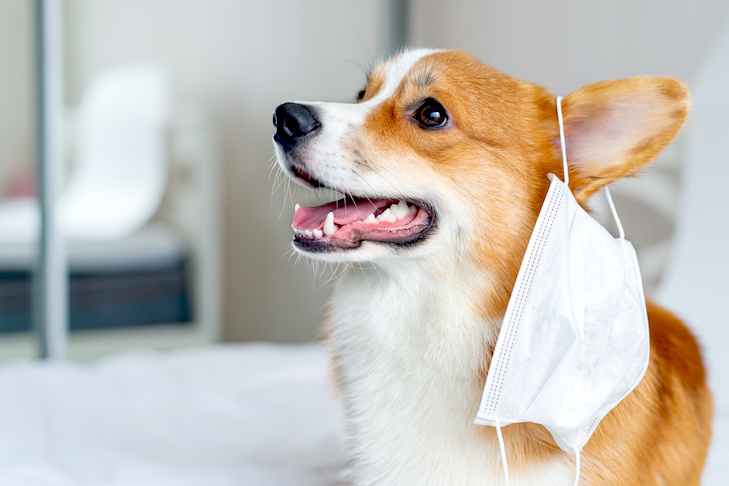 Cute corgi dog posing in medical mask. Concept healthe lifestyle, illness and epidemic. Indoor