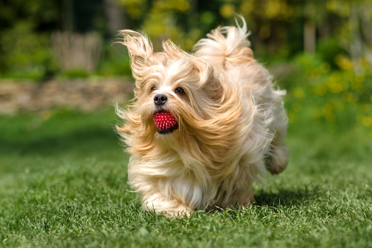 Playful orange havanese dog is running with a pink ball in his mouth in a spring garden