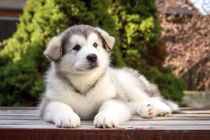 Alaskan Malamute puppy laying down outdoors.