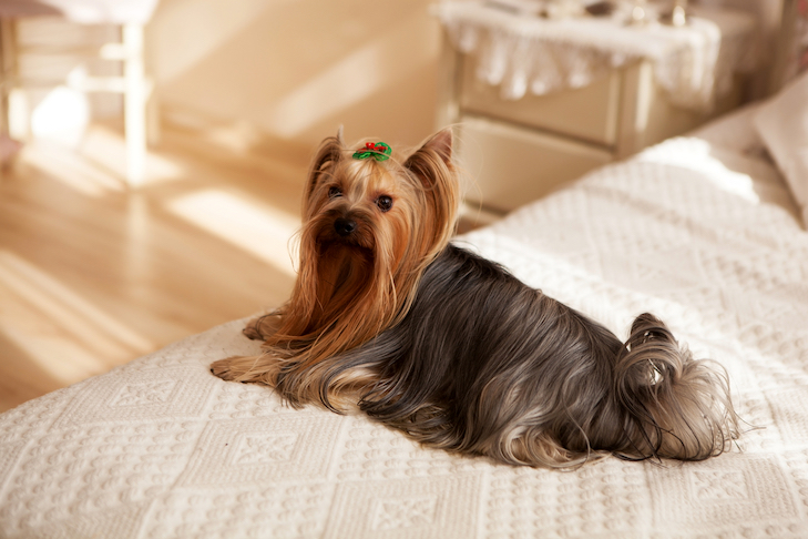 Yorkshire Terrier laying down on the bed.