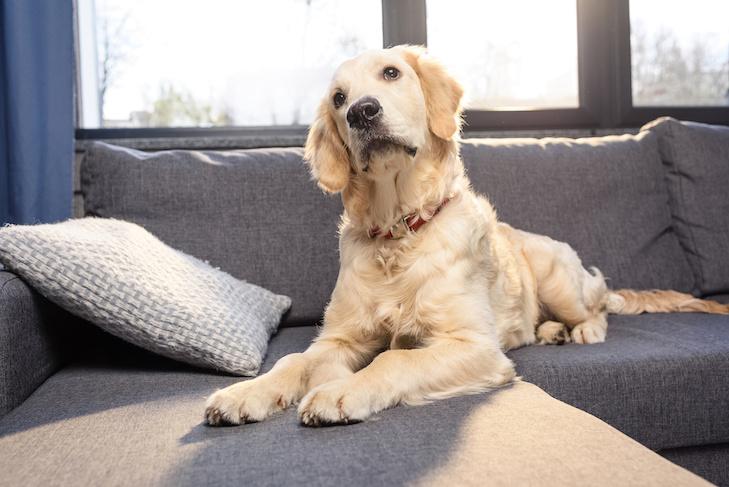 Cute golden retriever dog lying on sofa indoors