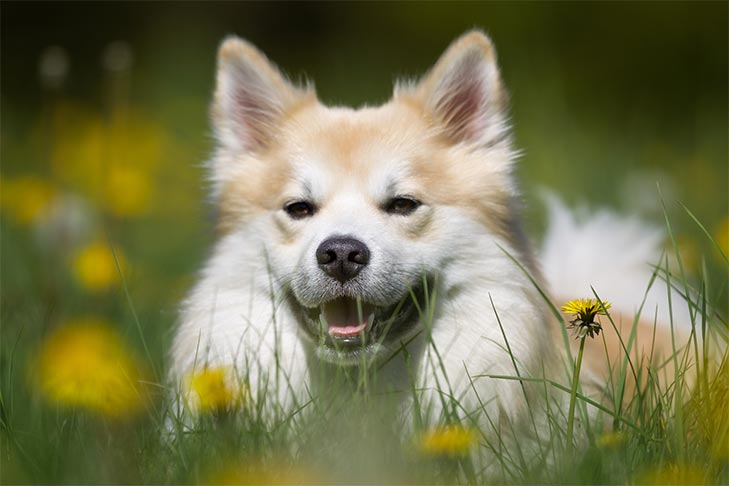 Icelandic Sheepdog's head poking out of the tall grass and flowers of a meadow.