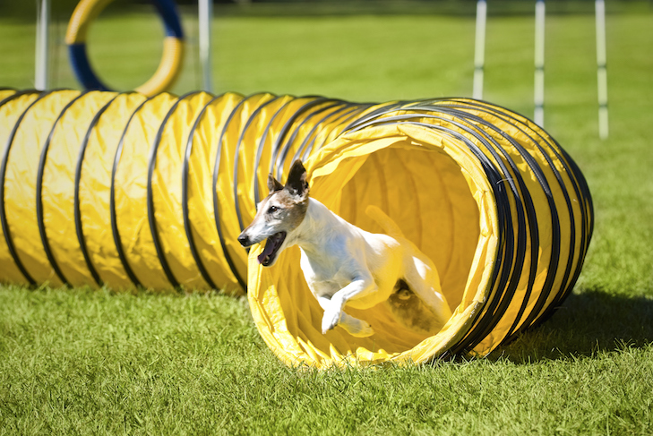 Smooth Fox Terrier running out of an open tunnel in an agility course outdoors.