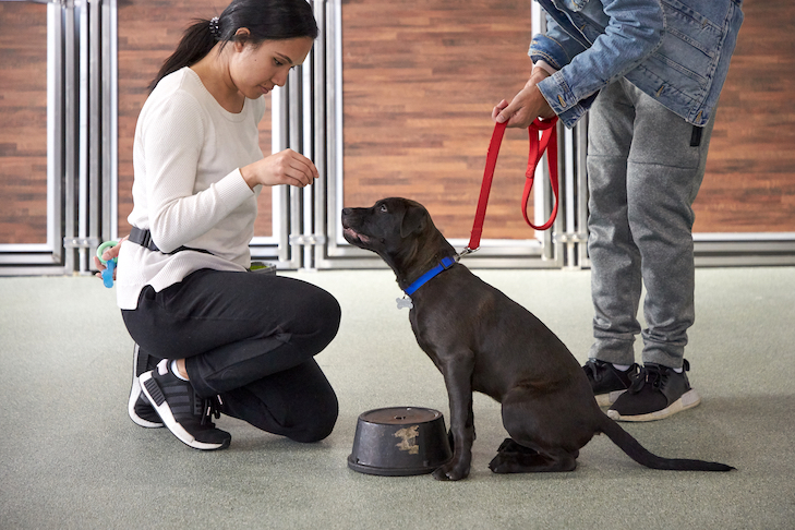 labrador retriever puppy getting a treat from a person at a dog training class