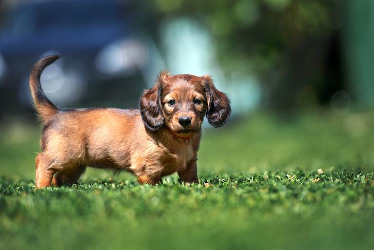 Dachshund puppy standing in the grass.