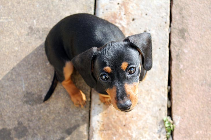 Dachshund puppy outdoors looking straight up at the viewer.