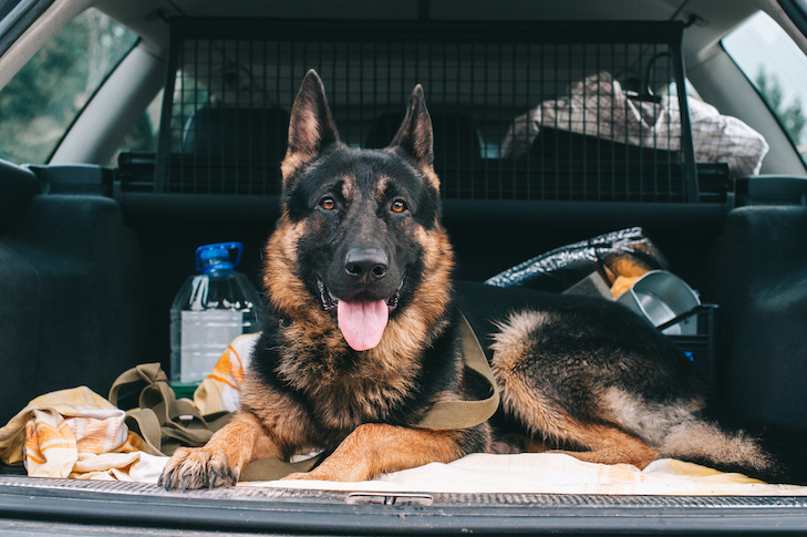 A dog with a serious look lies in an open trunk on the car