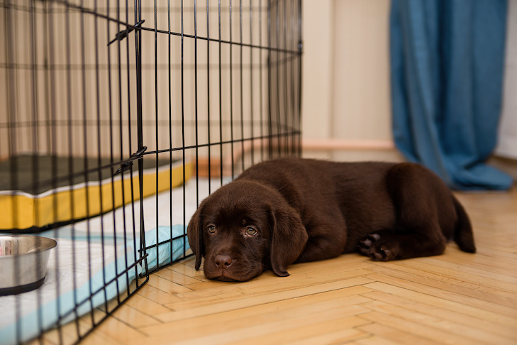 Labrador Retriever puppy laying down at home outside its kennel.
