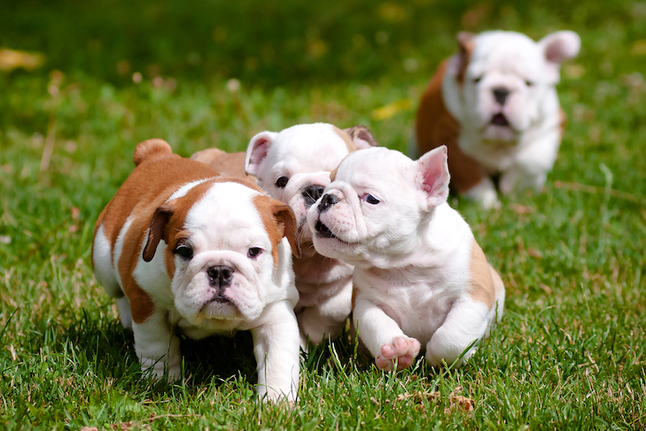 Bulldog puppies running and playing in the grass outdoors.