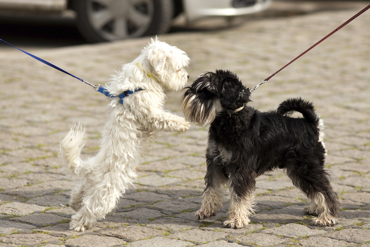 Miniature Schnauzer on leash meeting another dog on the sidewalk.