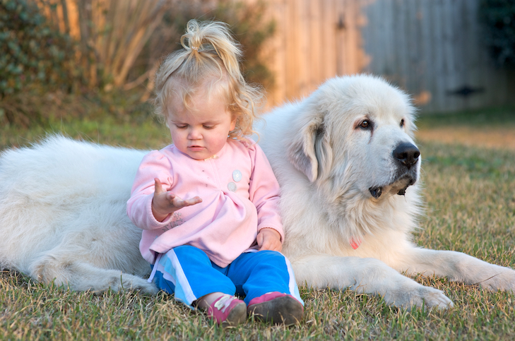 Great Pyrenees laying down next to a toddler in the yard.