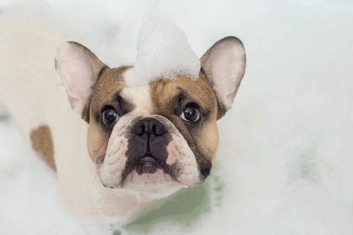 french bulldog takes a bath
