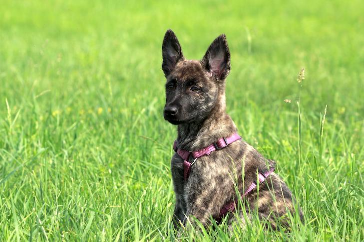 Dutch Shepherd puppy wearing a harness sitting in a field.